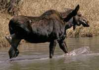 Moose CM11-17