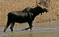 Moose CM11-18