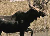 Moose CM11-19