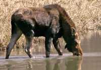 Moose CM11-20