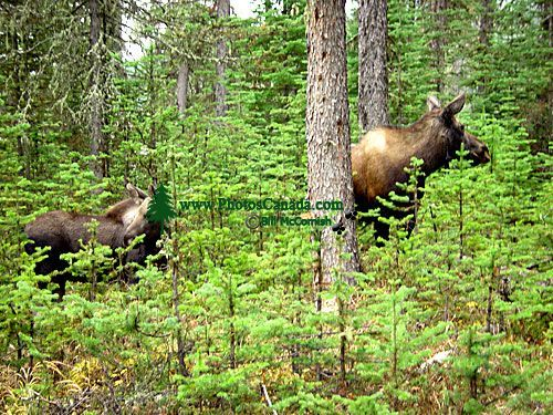 Moose Cow and Calf 06