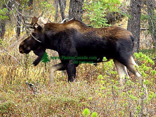 Bull Moose 04