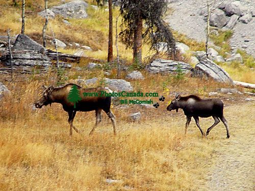 Moose Cow and Calf 07