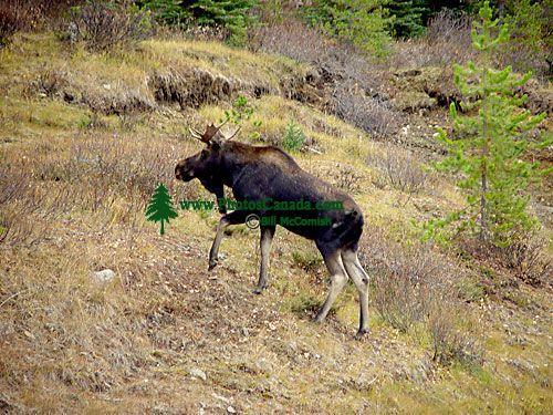 Bull Moose 03