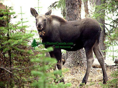 Moose Calf 05