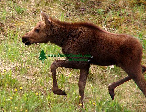 Moose Calf 09