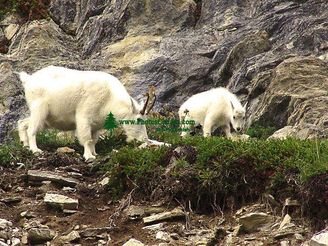 Mountain Goats, Jasper national Park, Alberta, Canada 20