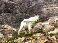 Highlight for Album: Mountain Goats, Jasper National Park 2007, Canadian Wildlife Stock Photos
