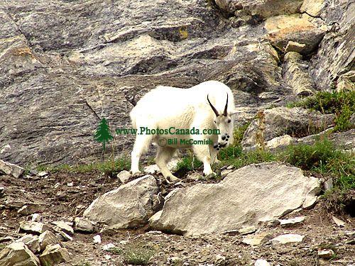 Mountain Goat 03