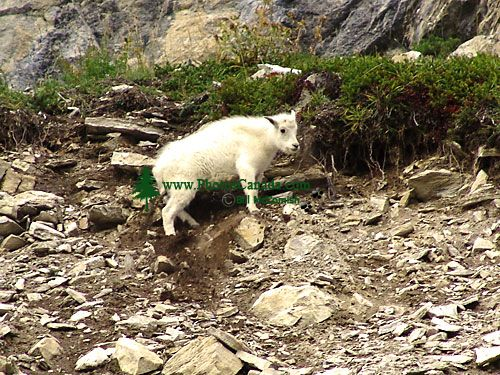 Mountain Goat Kid 06