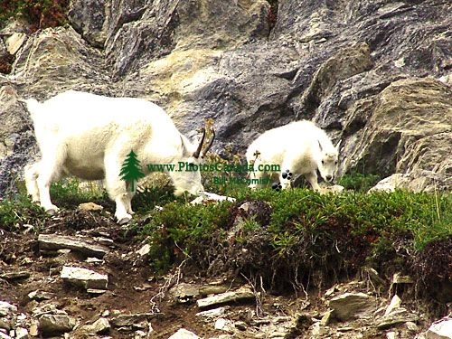 Mountain Goat and Kid 05