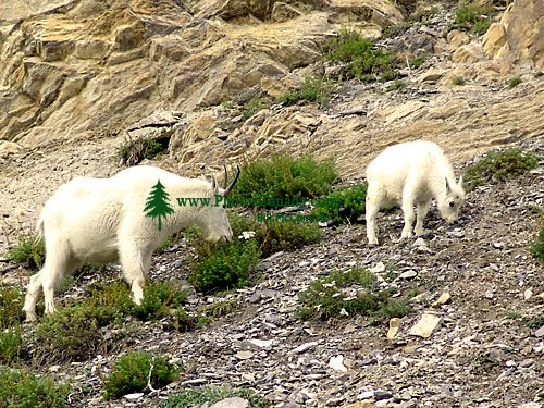 Mountain Goat and Kid 04