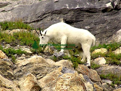 Mountain Goat 01