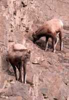 Mountain Goats, Banff Park, Alberta, Canada CM11-001