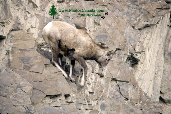 Mountain Goats, Banff Park, Alberta, Canada CM11-004