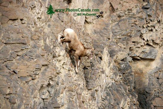 Mountain Goats, Banff Park, Alberta, Canada CM11-005