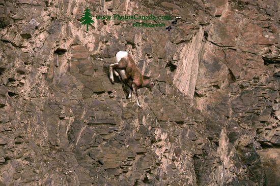 Mountain Goats, Banff Park, Alberta, Canada CM11-006