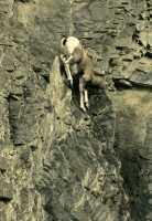 Mountain Goats, Banff Park, Alberta, Canada CM11-002