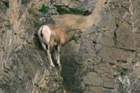 Highlight for Album: Mountain Goats, Mount Norquay Road, Banff Park, Alberta, Canada - Canadian Wildlife Stock Photos