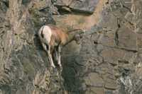 Mountain Goats, Banff Park, Alberta, Canada CM11-007
