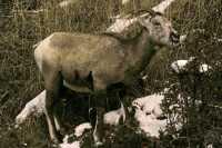 Mountain Goats, Banff Park, Alberta, Canada CM11-008