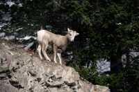 Mountain Goats, Banff Park, Alberta, Canada CM11-009