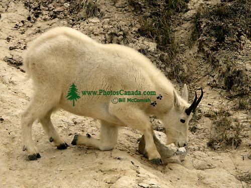 Mountain Goat CM11-06
