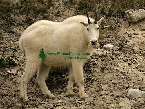 Mountain Goat CM11-09