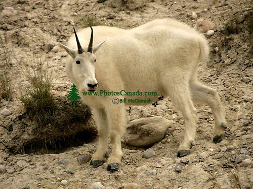 Mountain Goat CM11-08