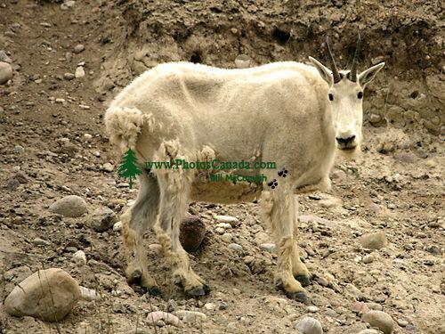 Mountain Goat CM11-05