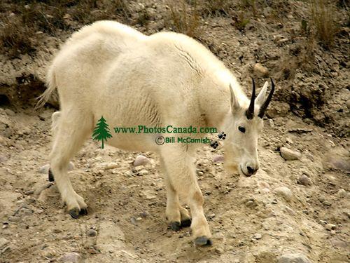 Mountain Goat CM11-07