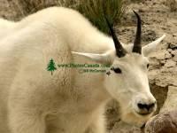 Highlight for Album: Rocky Mountain Goats Photos 2008, Jasper National Park, Canadian Wildlife Stock Photos