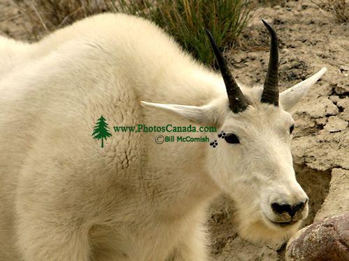 Mountain Goat CM11-04