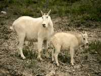 Mountain Goat and Kid CM11-01