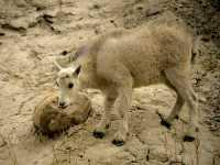 Mountain Goat Kid CM11-03