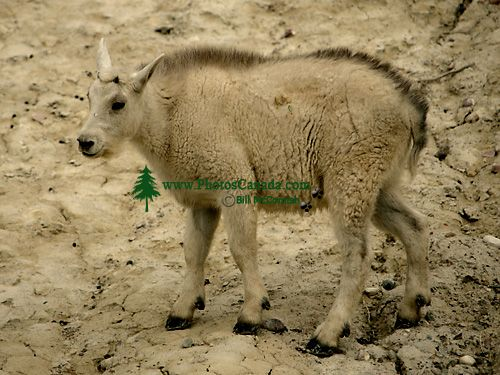 Mountain Goat Kid CM11-02