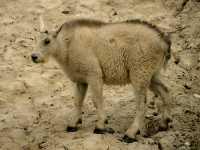Mountain Goat Kid CM11-02