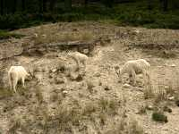 Mountain Goat Family CM11-10