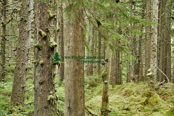 Naikoon Park, Tow Hill, Queen Charlotte Islands, Haida Gwaii, British Columbia, Canada CM11-07