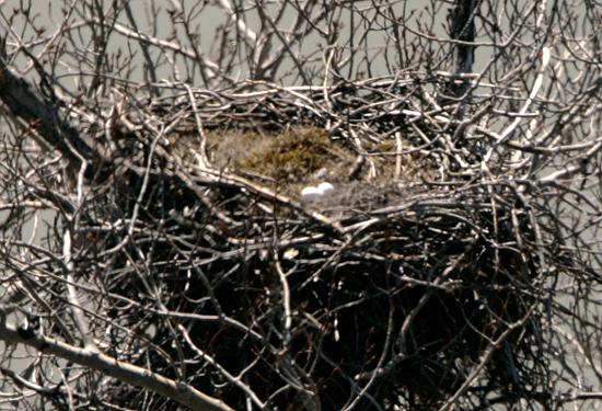 Bald Eagle Eggs CM11-02
