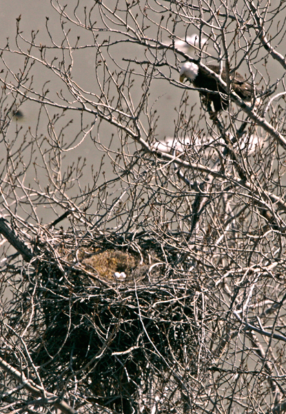 Bald eagle nest with eggs - photo#20
