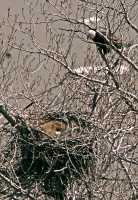 Bald Eagle Nest and Eggs CM11-04