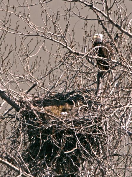 Bald Eagle Nest and Eggs CM11-06