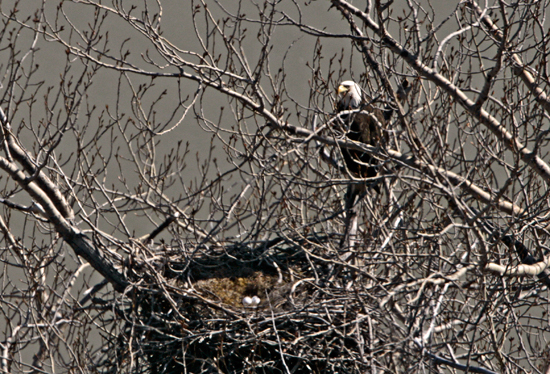 Bald Eagle Nest and Eggs CM11-07