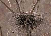 Nesting Bald Eagle CM11-01
