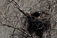 Nesting Bald Eagle and Eggs CM11-03