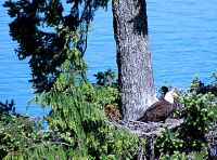 Bald Eagle and Eaglet, Preparing For First Flight 09