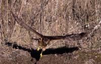 Highlight for Album: Northern Hawk, British Columbia, Canada, Canadian Wildlife Stock Photos