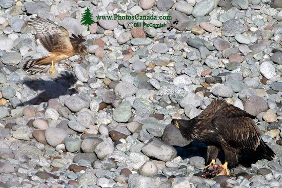 Northern Hawk, British Columbia, Canada CM11-04