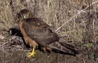Northern Hawk, British Columbia, Canada CM11-09